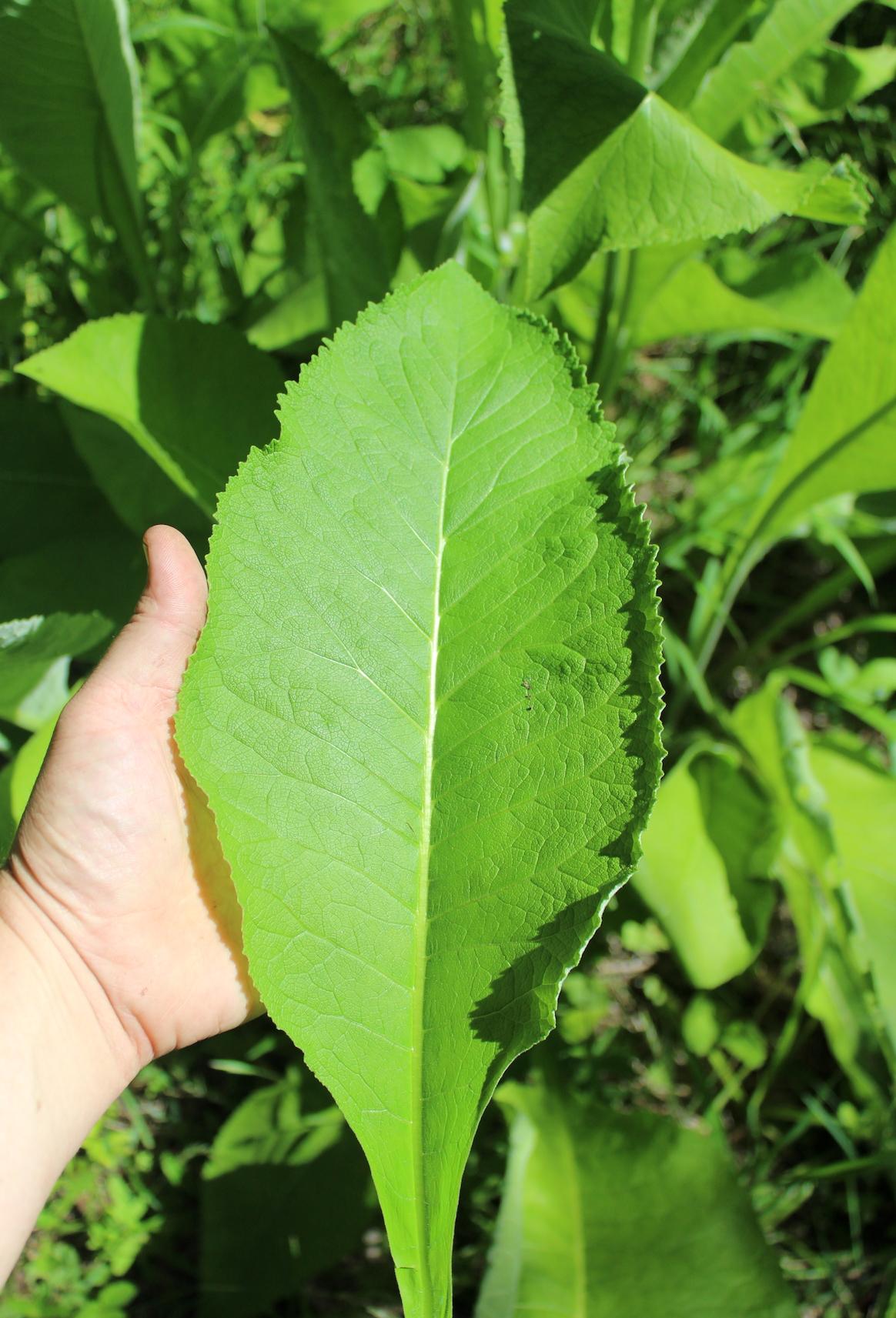 Elecampane Leaf