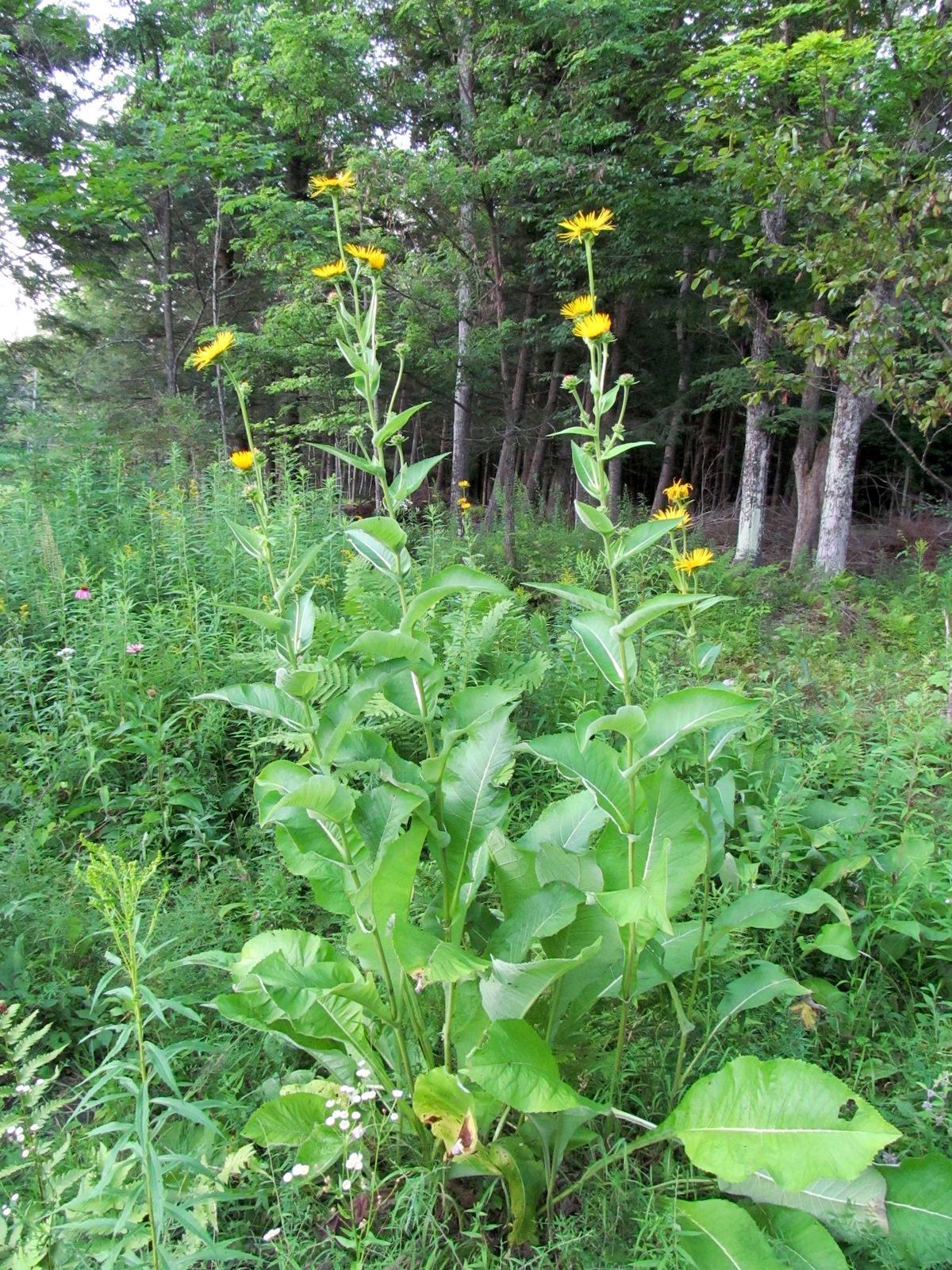 Elecampane plant in Bloom