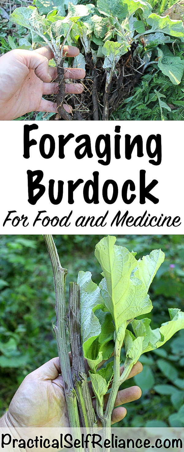 Foraging Burdock for Food and Medicine #foraging #foragedfood #wildcrafting #wildfood #burdock