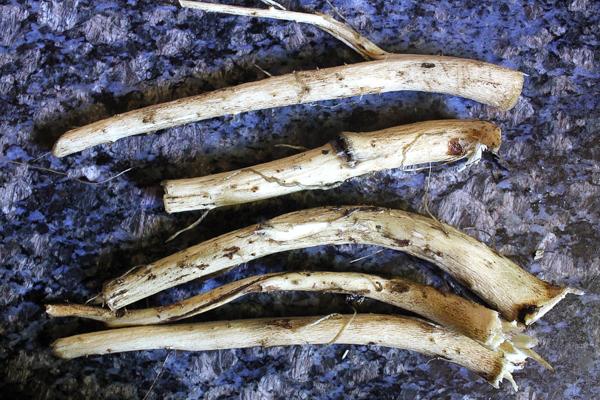 Elecampane Roots Harvested