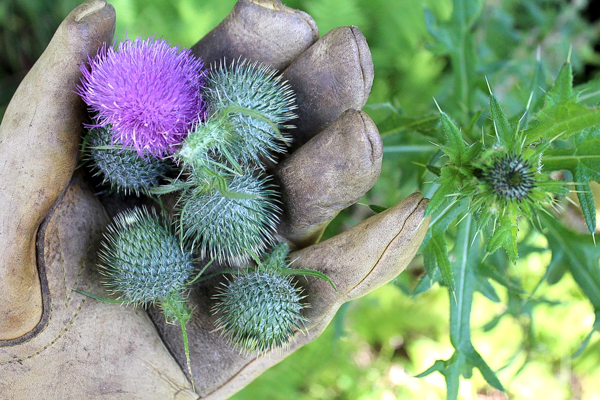 Foraging Thistle