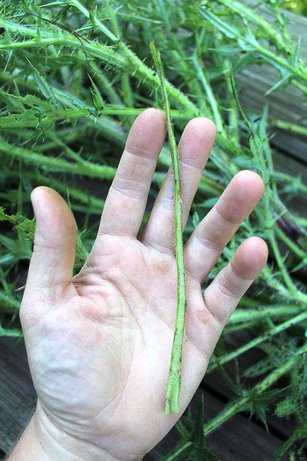 Thistle Leaf Mid-rib Thorns Removed
