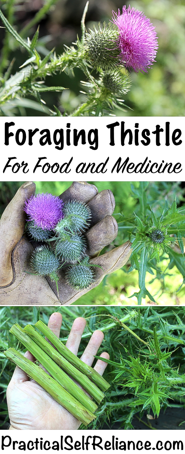 Foraging Thistle for Food and Medicine #thistle #foraging #foragedfood #wildfood #selfsufficiency #homesteading #edibleweeds #medicinalherbs