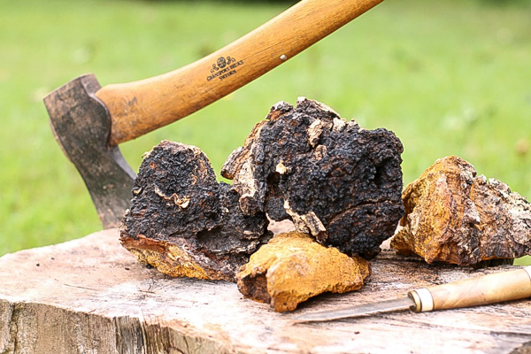 raw chaga on a wooden stump with an axe in the background