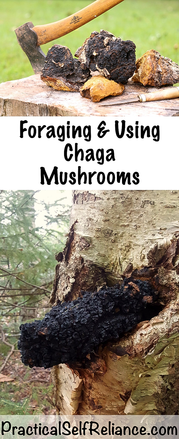Foraging and Using Chaga Mushrooms #chaga #mushrooms #chagamushroom #foraging #mushroomhunting #forage #wildedibles #wildcrafting #medicinal #uses