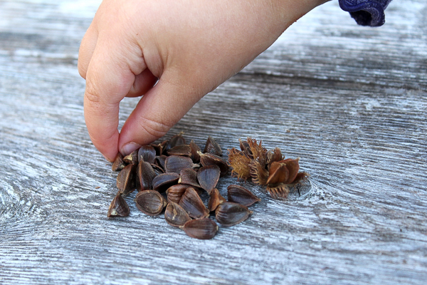 Fingers picking up beech nuts