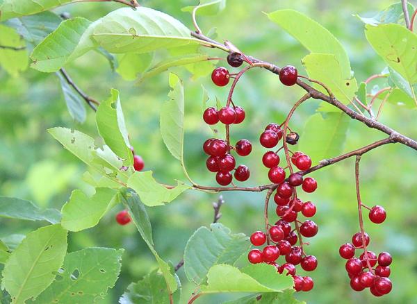 Red Chokecherry still unripe on the chokecherry bush