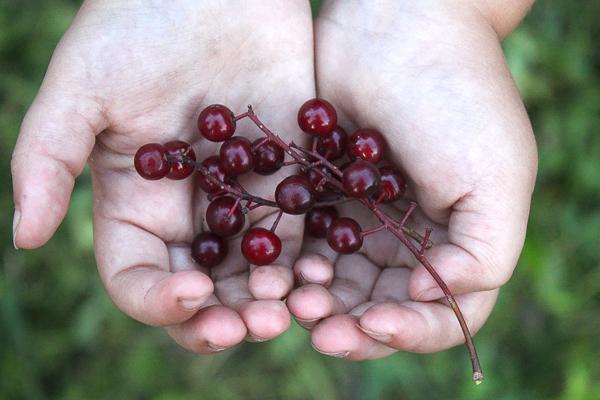 Chokecherry Fruit