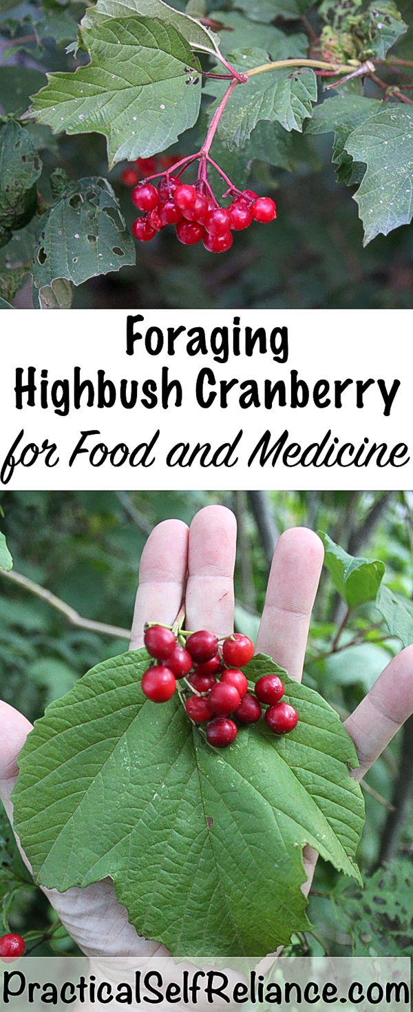 Foraging Highbush Cranberry for Food and Medicine #cranberries #recipes #tincture #orchard #permaculture #foraging #forage #wildcrafting #wildedibles #berryrecipes #crampbark