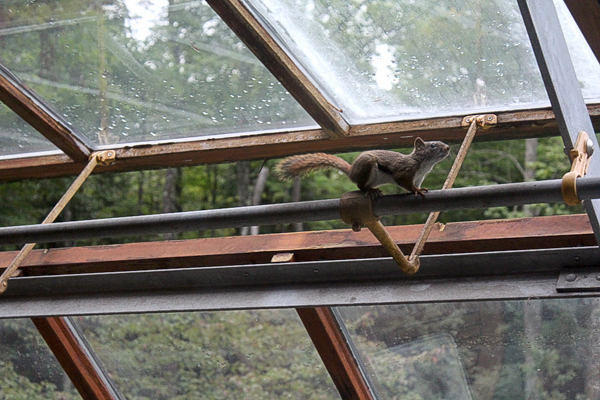 Squirrel in Greenhouse