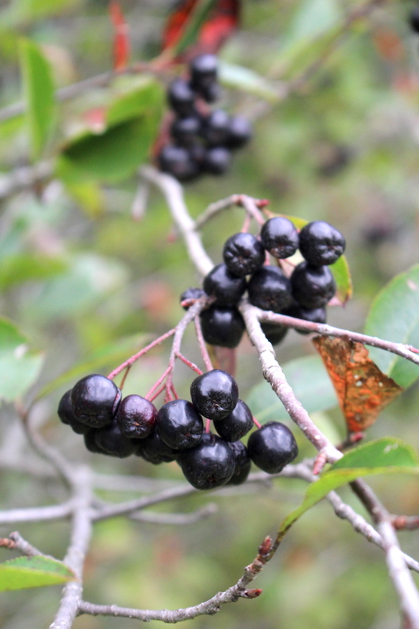 Wild Berries of Black Chokeberry (Aronia)