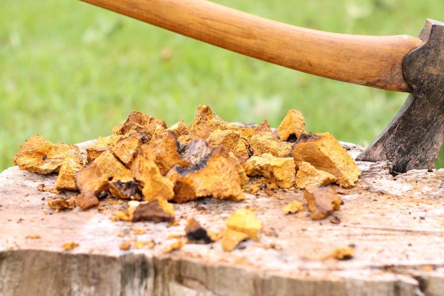 chaga mushroom broken into pieces