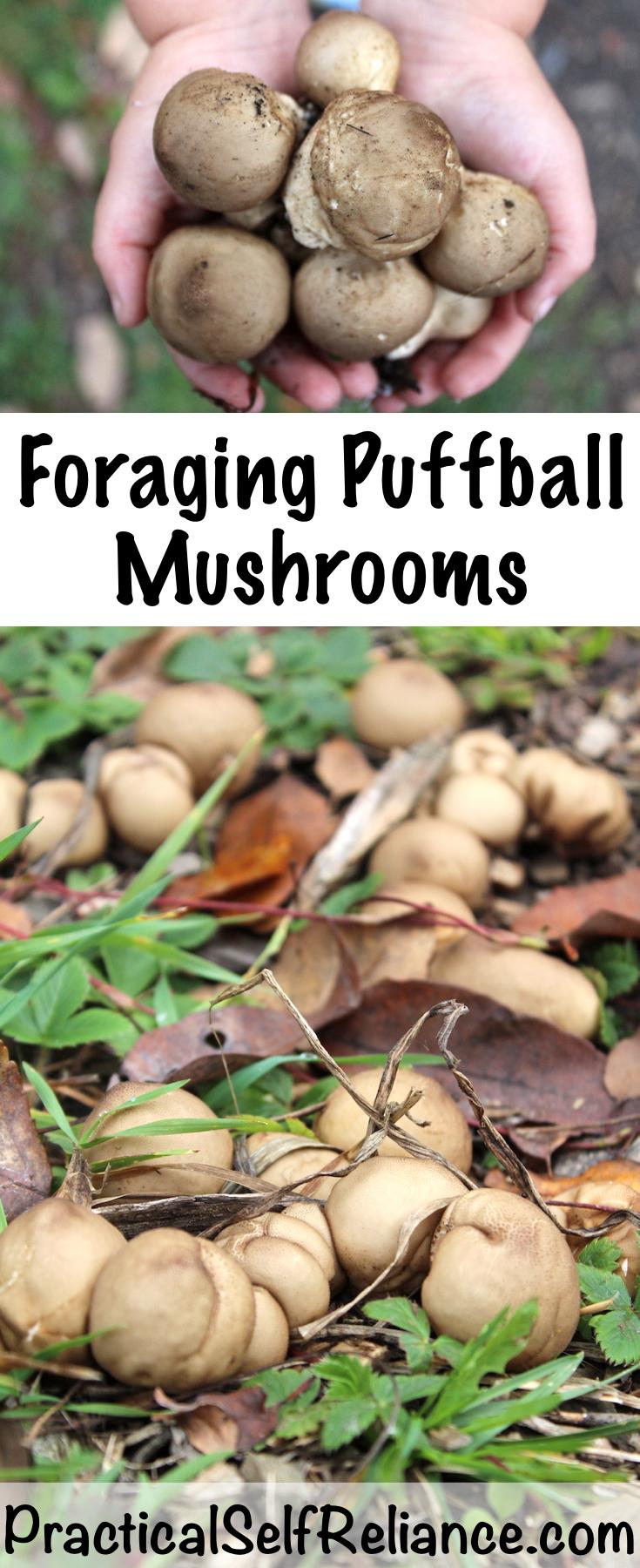 Foraging Puffball Mushrooms