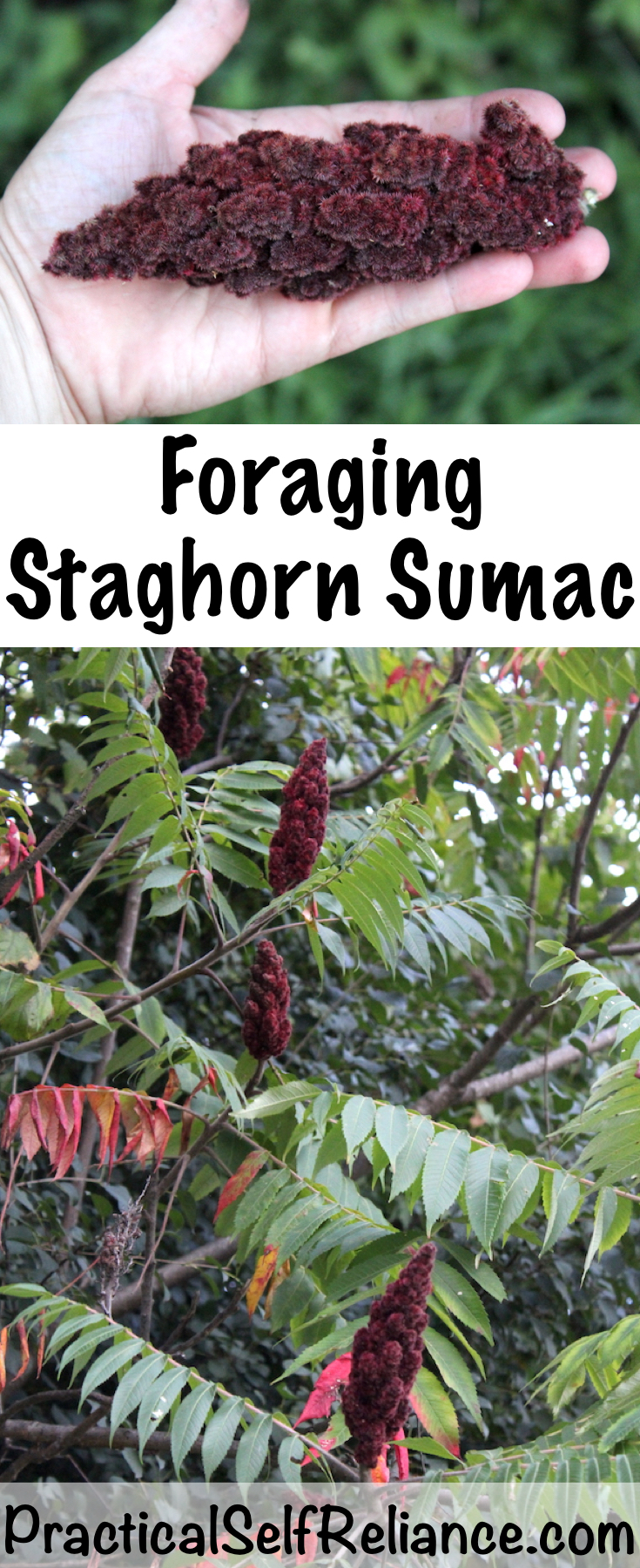 Foraging Staghorn Sumac