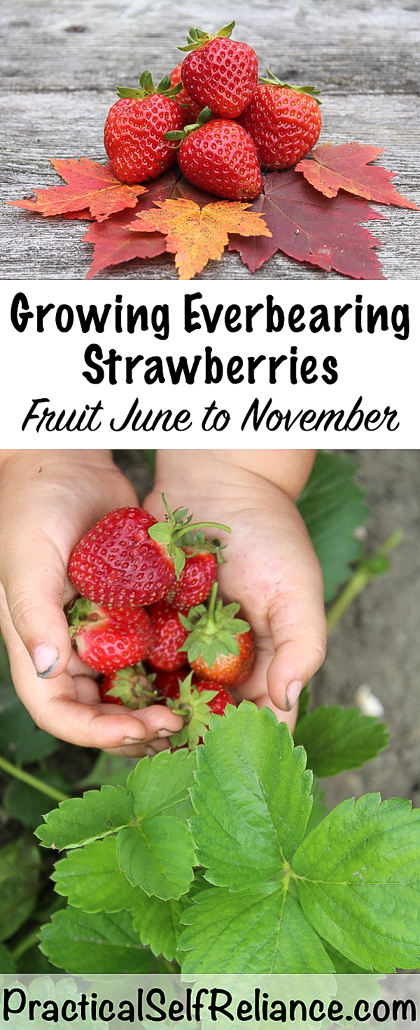 Growing Everbearing Strawberries #strawberries #howtogrow #growingfood #gardening #everbearing #gardeningtips