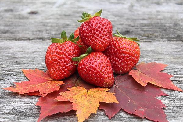 fall strawberries from everbearing strawberries mara de bois