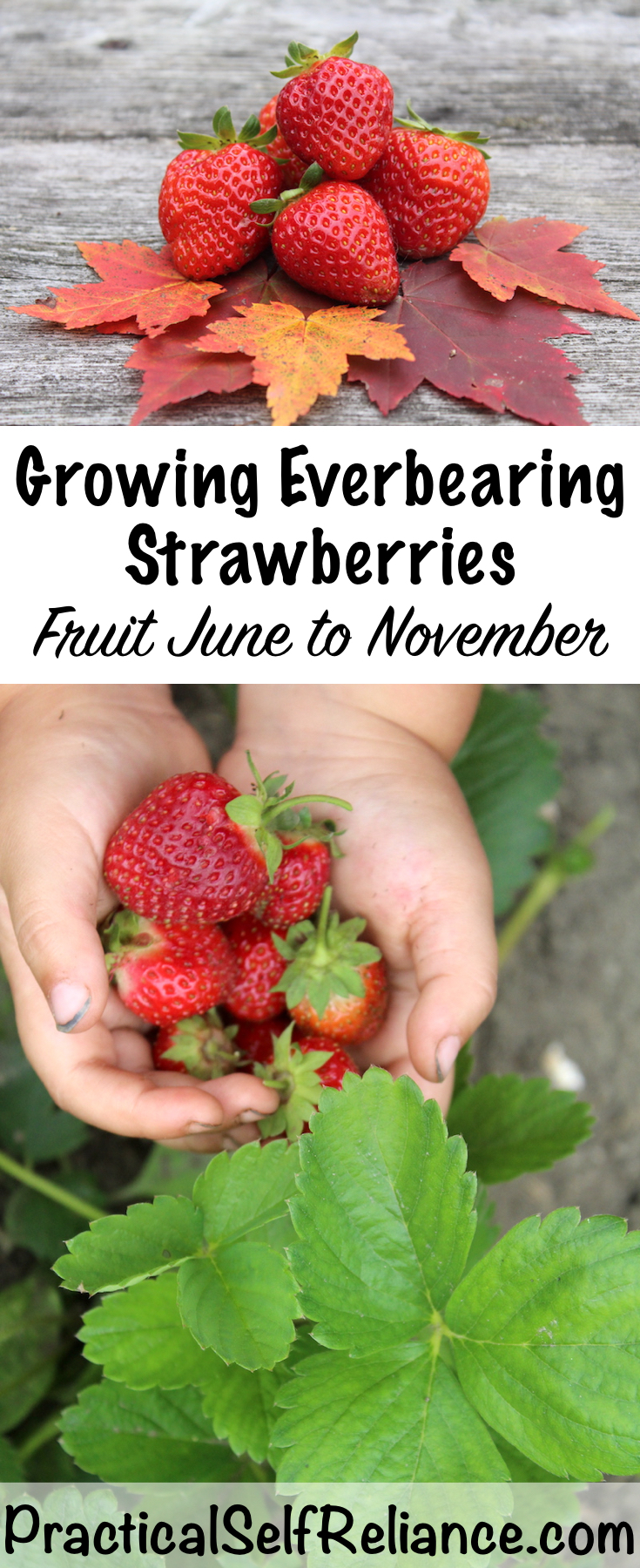 Growing Everbearing Strawberries