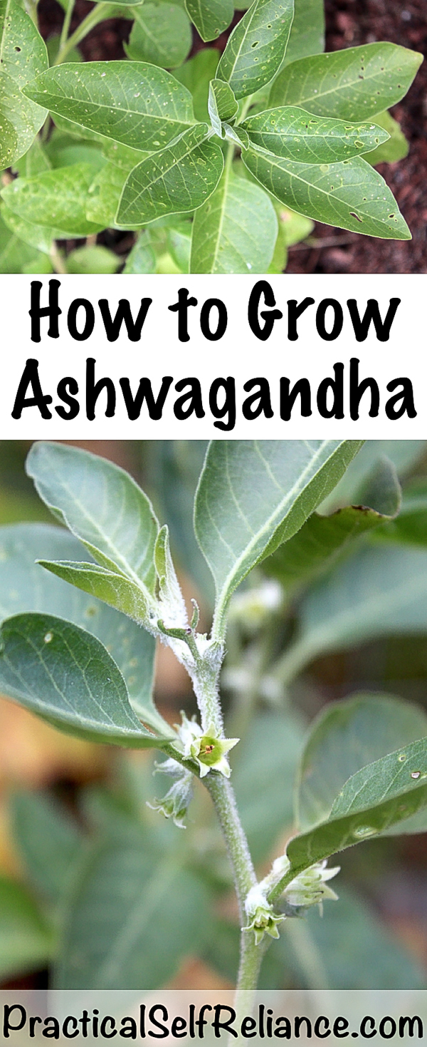 How to Grow Ashwagandha #Ashwagandha #herbs #growingherbs #howtogrow #herbalism #selfsufficiency #homesteading #medicine