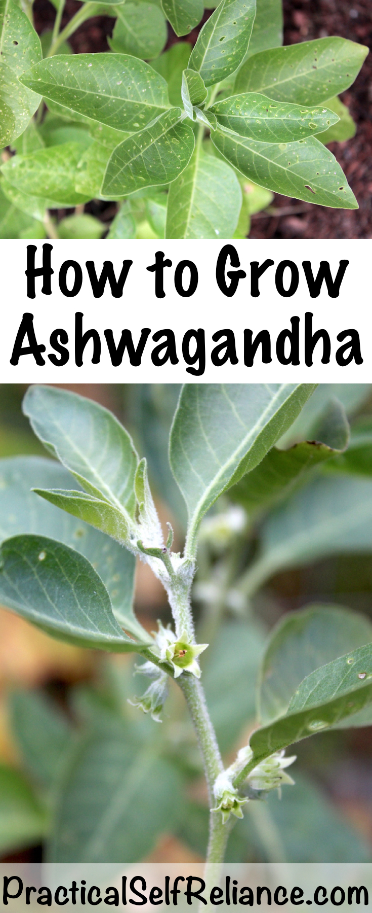 How to Grow Ashwagandha