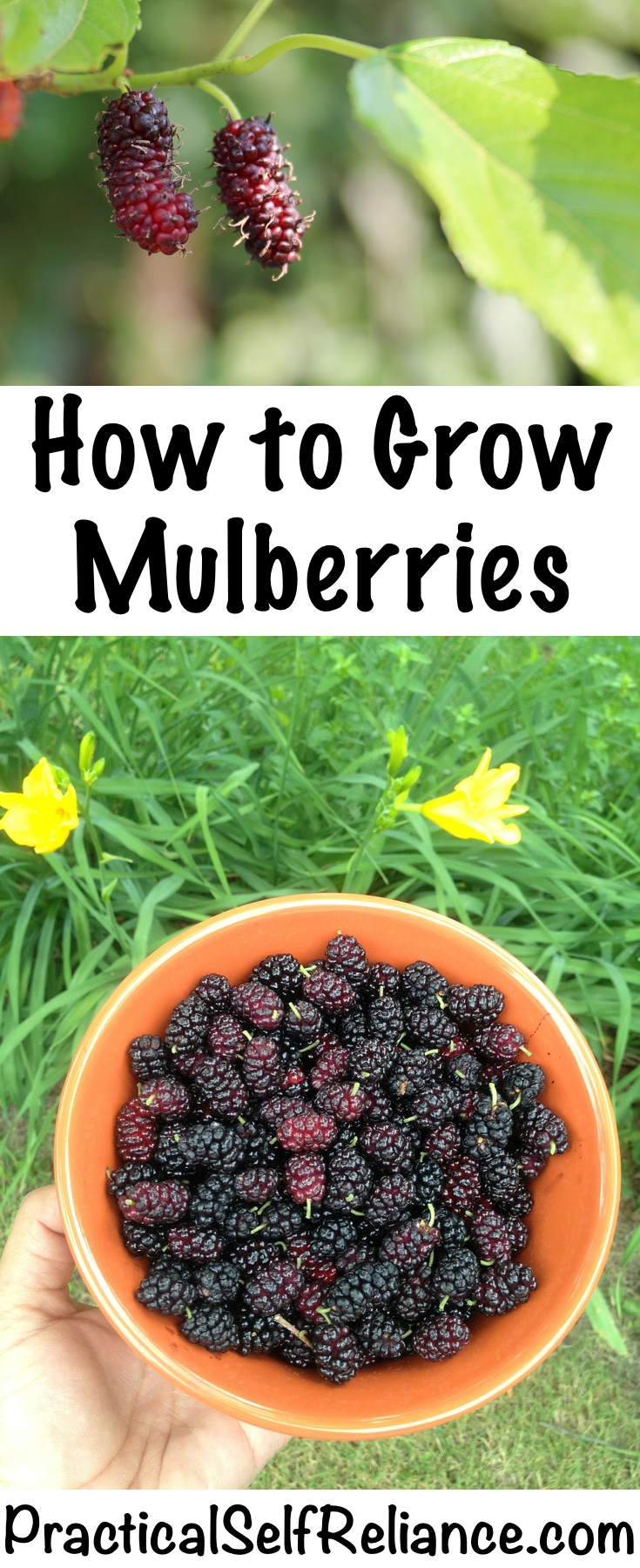 How to Grow Mulberries #mulberry #trees #howtogrow #permaculture #homesteading #selfsufficiency #orchard #berries