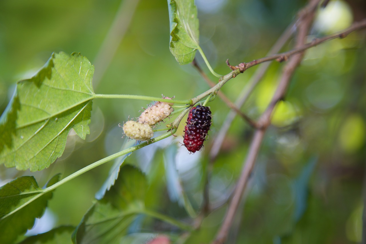 Mulberries Ripening