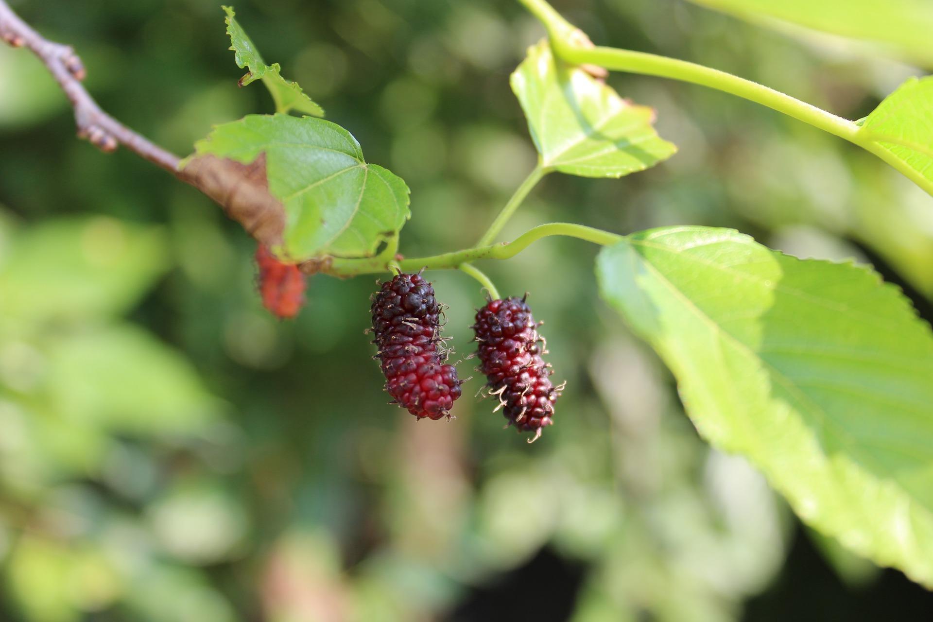 Nearly Ripe Mulberries