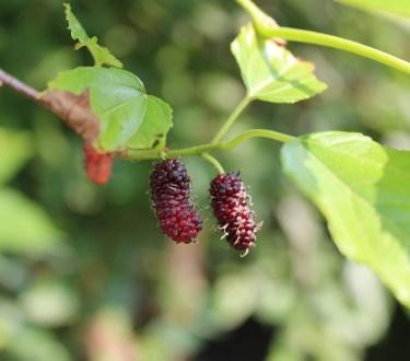 Growing Mulberries in Your Backyard