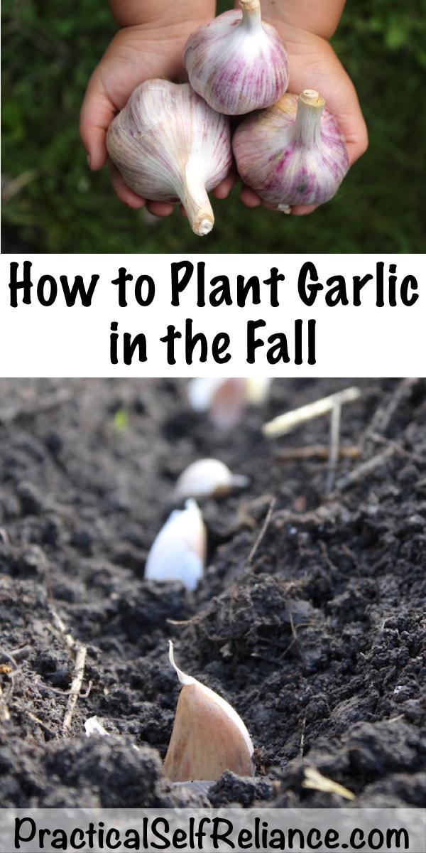 How to Plant Garlic in the Fall ~ Growing Garlic ~Fall Planting #vegetablegardening #growingfood #garlic #fallgardening #homesteading #howtogrow