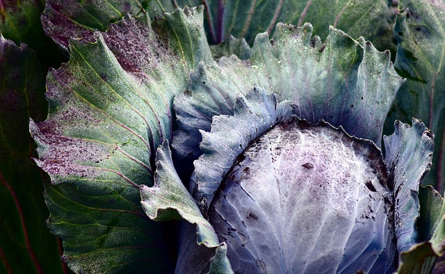 Red Cabbage after First Frost