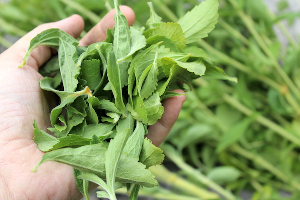Stevia Leaves for homemade extract