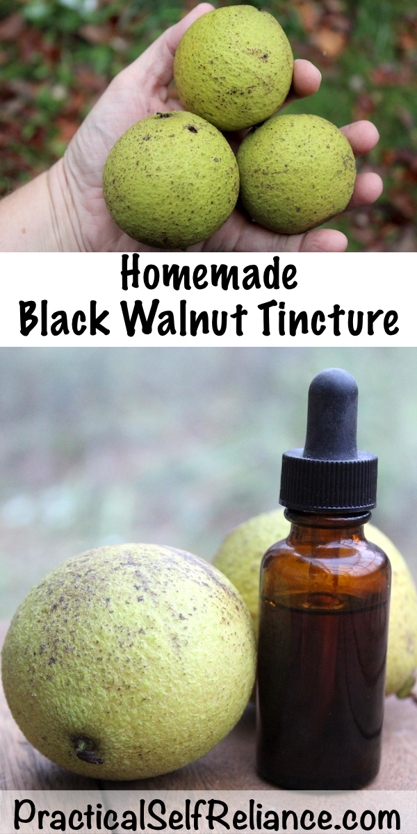 How to Make Black Walnut Tincture #blackwalnut #tincture #herbalism #medicine #foraging #wildcrafting #survival