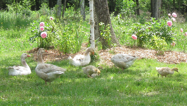 Goose family free ranging on our homestead in Vermont.