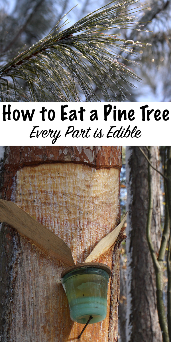 How to Eat a Pine Tree ~ Every Part is Edible #forage #foraging #wildcrafting #pine