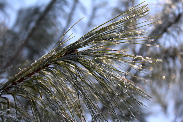 Pine Needles are edible and medicinal