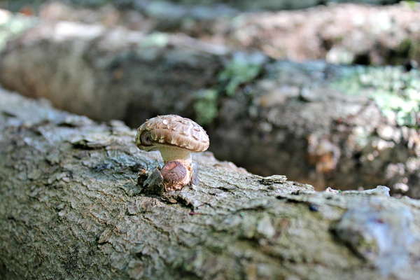 Shiitake Mushroom on Maple Log