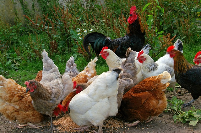 Wood Ash as a Chicken Feed Supplement