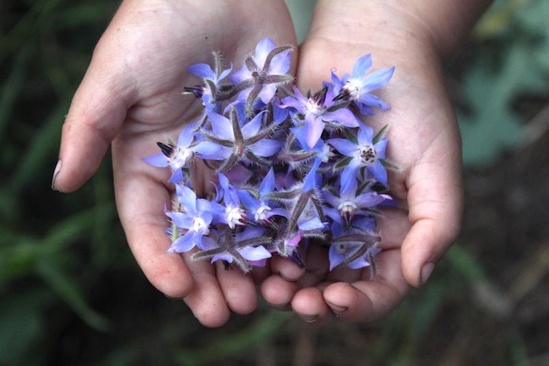 Child holding borage flowers