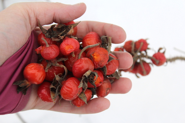 Foraging rose hips in winter