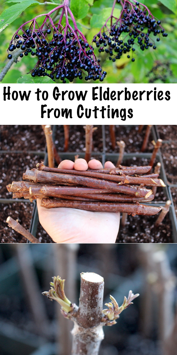 Growing Elderberries from Cuttings ~ Propagating elderberries is simple, all you need is a few hardwood cuttings and a bit of patience.