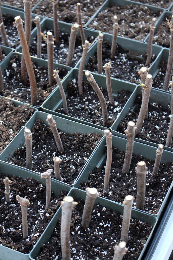 Elderberry Cuttings in Propagation trays