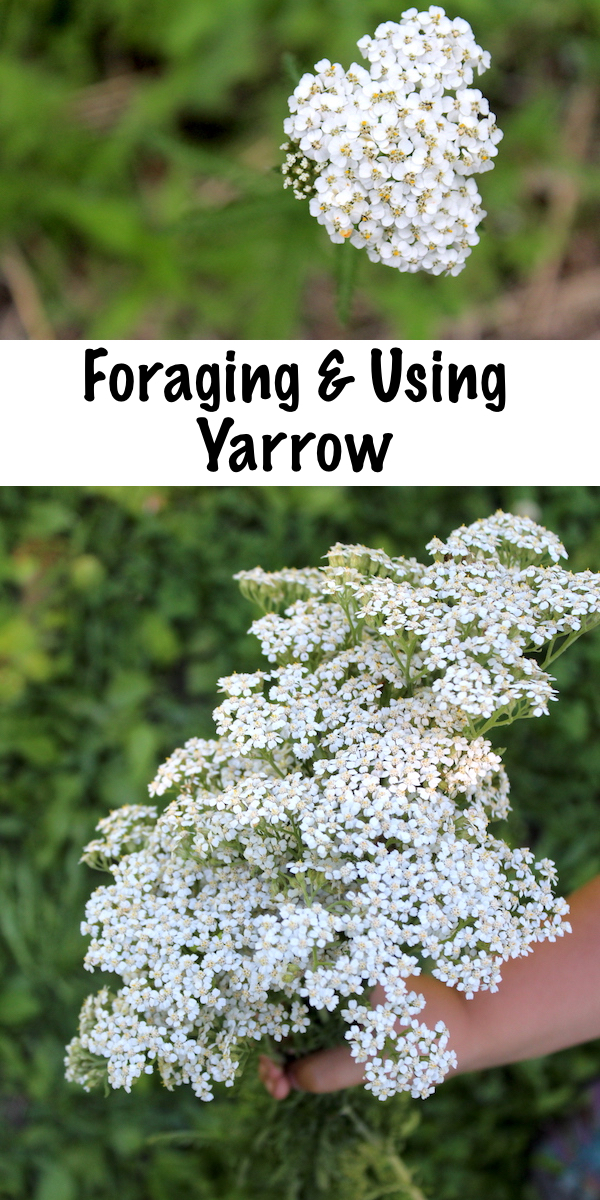 Foraging and Using Yarrow (achillea millefolium) ~ How to identify yarrow, a common wild weed, plus ways to use it medicinally to stop bleeding and treat fevers.