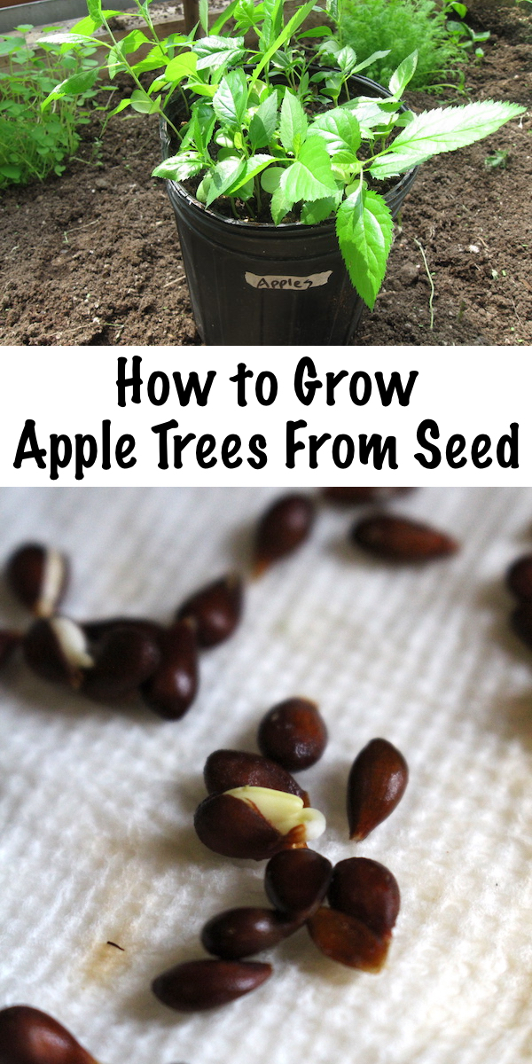 Growing Apple Trees from Seed ~ Growing apple trees from seed is easy, if you know the trick to breaking apple seed dormancy before planting.