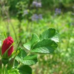 Edible Rose Blossom