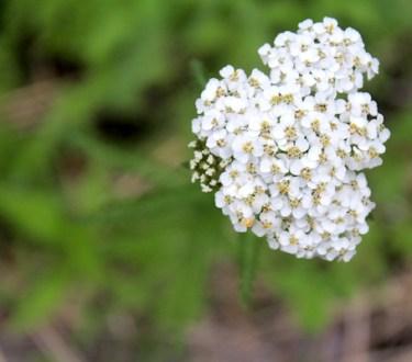 Foraging and Using Yarrow (Achillea millefolium)