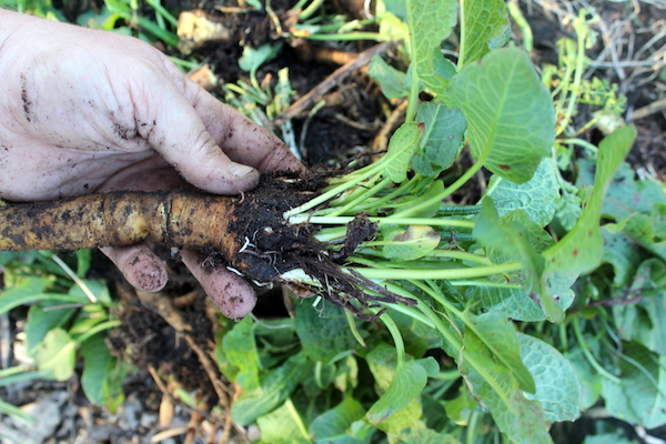 Yellow Dock Root in Spring