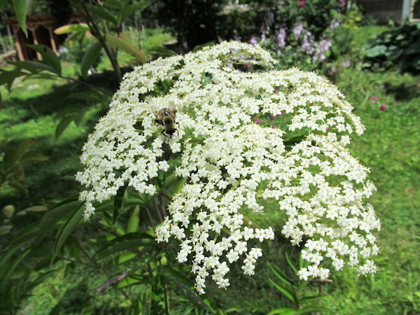 bee on elderflower