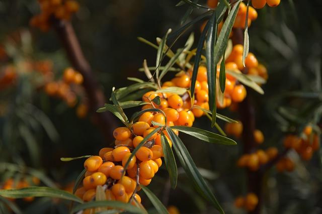 Sea Buckthorn Plant in Fruit