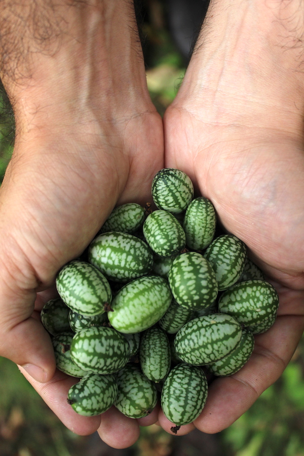 Cucamelon fruits harvested and ready for use