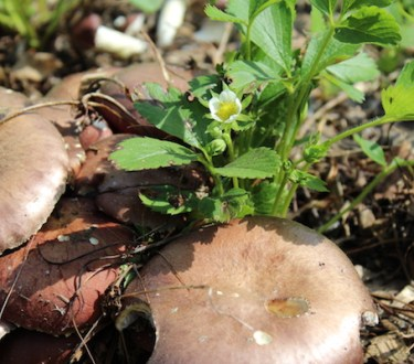 Companion Planting Strawberries with Mushrooms