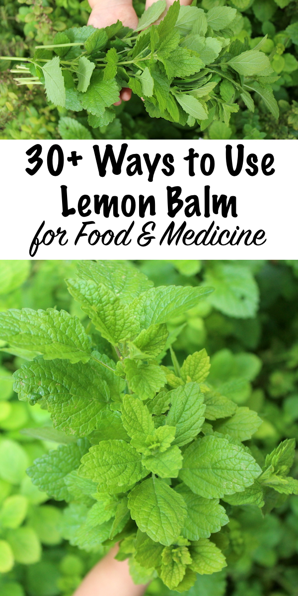 30+ Ways to Use Lemon Balm ~ Lemon balm is a lovely addition to any herb garden, and it produces huge crops of fragrant leaves in the summer months. Lemon balm recipes range from sweet to savory, and lemon balm drinks are especially enticing. Beyond that, the medicinal benefits of lemon balm are pretty impressive. Here are a few ways to use lemon balm in recipes and for medicine. #lemonbalm #herbs #uses #recipes #herbgarden
